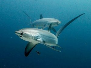 Monad Shoal | Philippine Shark | Philippine Marine Life | Philippine Diving Spots | Diving Activities | Monad Shoal Sharks | Eko Divers