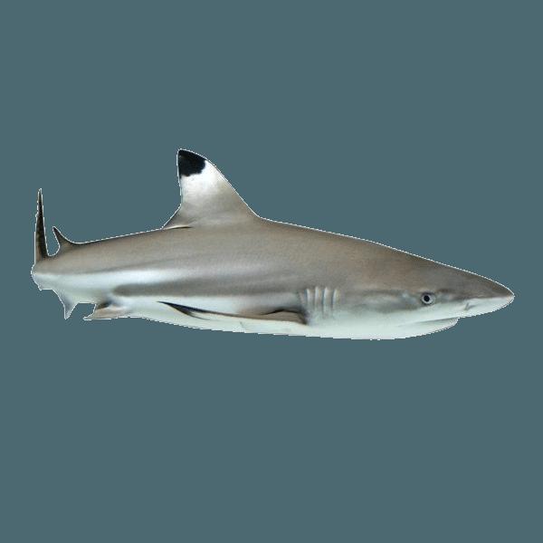 Phuket | Phuket Black Tip Shark | Black Tip Shark | Shark | Phuket Marine Animals | Phuket Fish | Fishes | Sharks | Thailand Marine Animals | Diving Spot Animals | Phuket Marine Activities | Lively Marine Life Phuket | Eko Divers