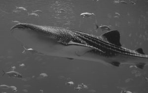 Phuket Whale Shark | Phuket Diving Spot | Phuket Marine Life | Phuket Marine Fish | Phuket Aquatic Life | Phuket Aquatic Fish | Eko Divers