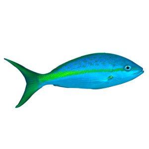 Yellowtail Snapper | Philippines | Philippine Aquatic Life | Philippine Marine Life | Philippine Aquatic Fish | Philippine Marine Fish | Fishes | Fish | Eko Divers